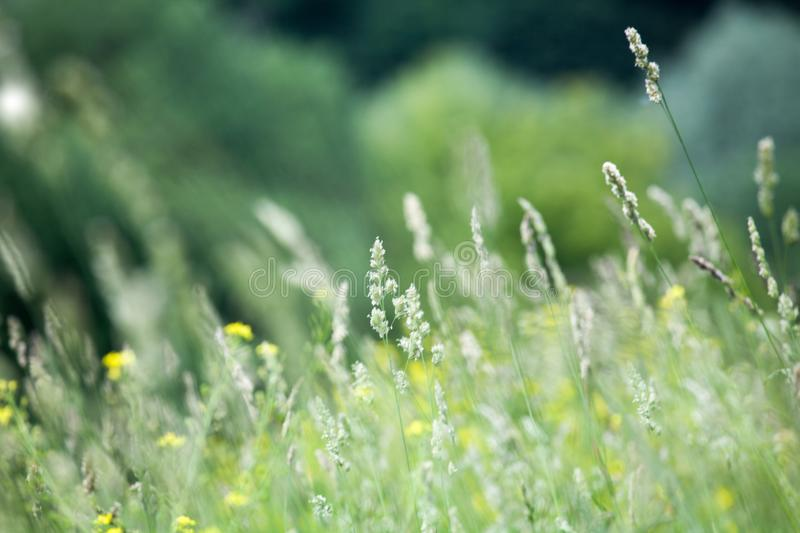 Fresh green grass field on blurred bokeh background close up, ears on meadow soft focus macro, beautiful sunlight summer lawn stock image