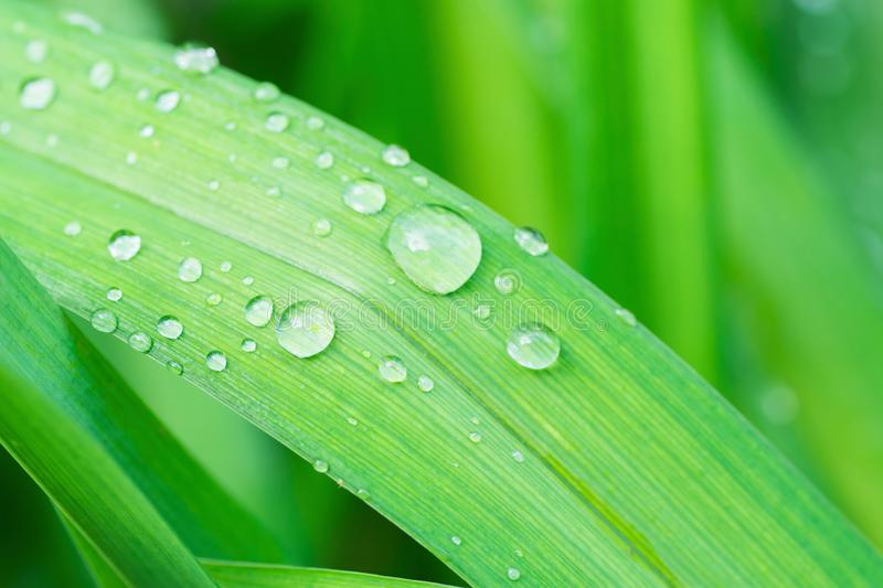 Fresh Green Grass Leaf after Rain with Water Drops. Botanical Nature Background. Background Wallpaper Poster Template. Organic Cosmetics Wellness Spa royalty free stock photos