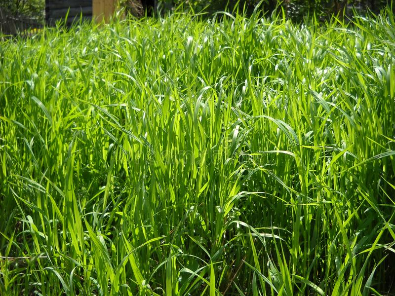 Fresh green grass in the meadow. Sunny summer day. A mowed field flooded with sunlight. Tall plants flooded the expanse stock photo