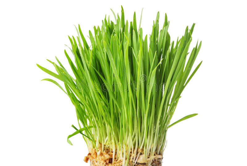 Fresh green grass, oat sprouts, close up, isolated on white back stock photography