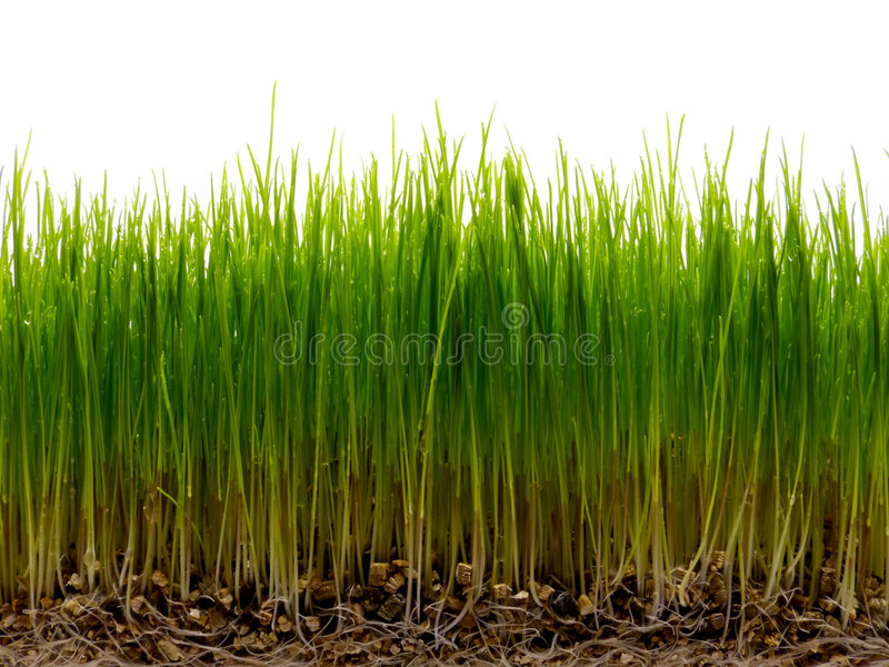 Download Fresh Green Grass With Root And Dew Stock Photo - Image: 4656846