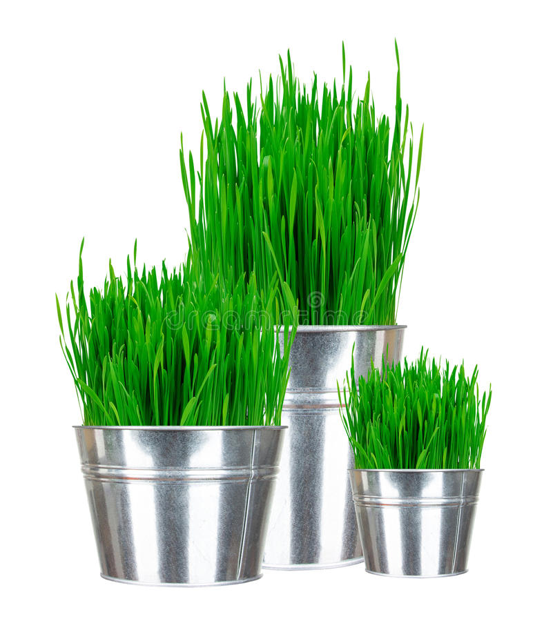 Fresh green grass in small metal buckets isolated on white. Background royalty free stock photos