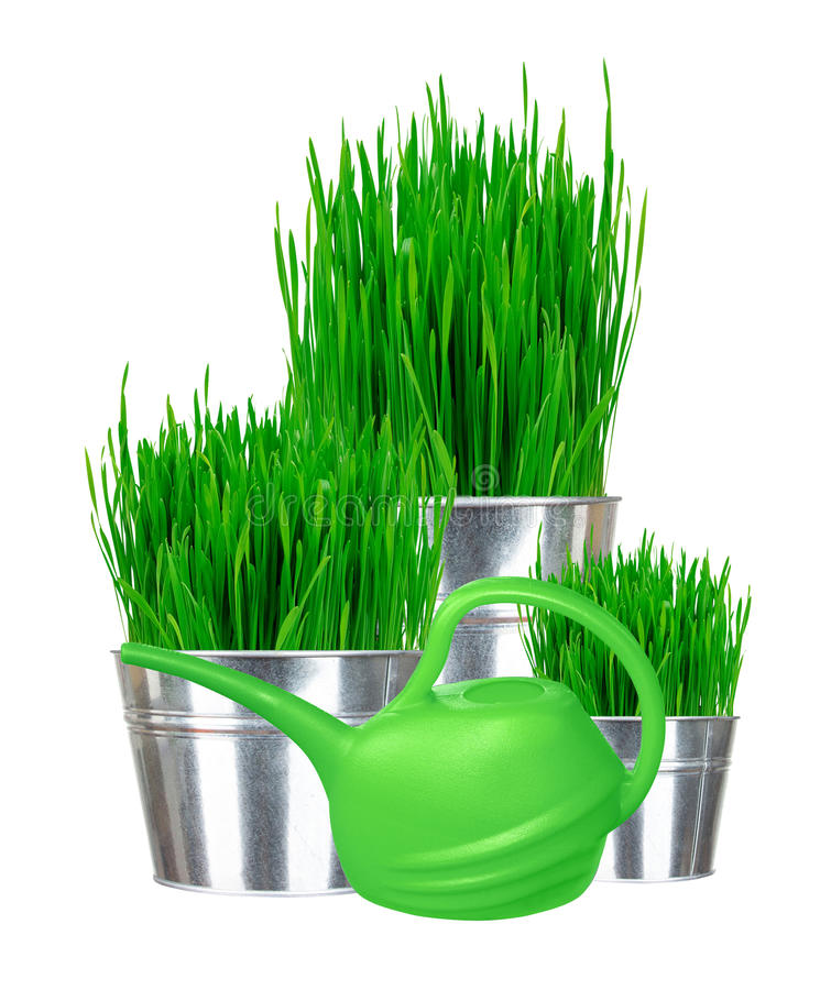 Fresh green grass in small metal buckets and water can isolated. On white stock photography