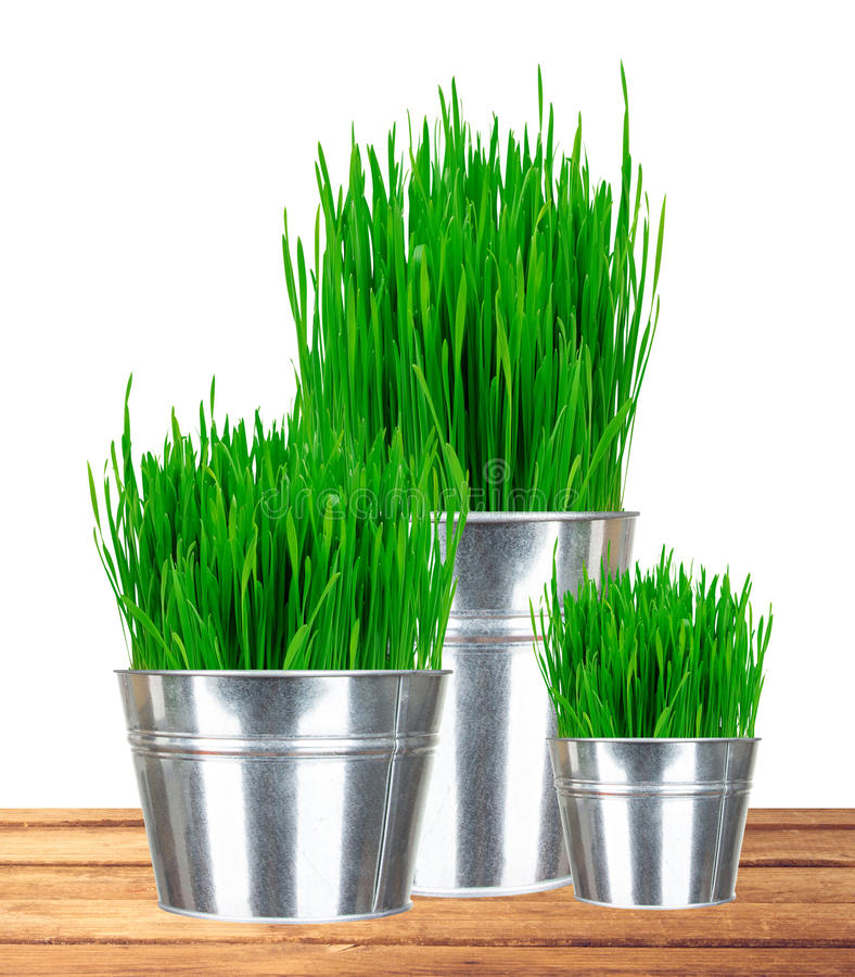 Fresh green grass in small metal buckets on wooden table. Isolated on white background royalty free stock image
