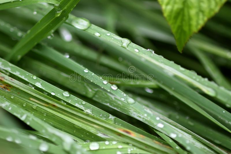 Fresh green grass on summer meadow in water drops after rain royalty free stock image