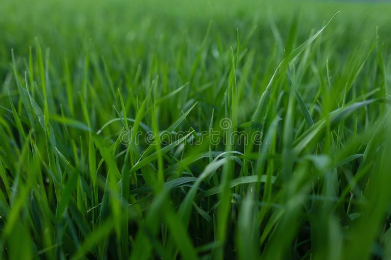 Fresh green grass texture for background. Green lawn pattern and texture background. Close-up. stock image