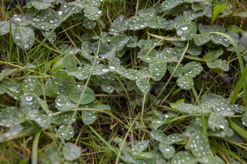 Fresh green grass with drops of water royalty free stock photo