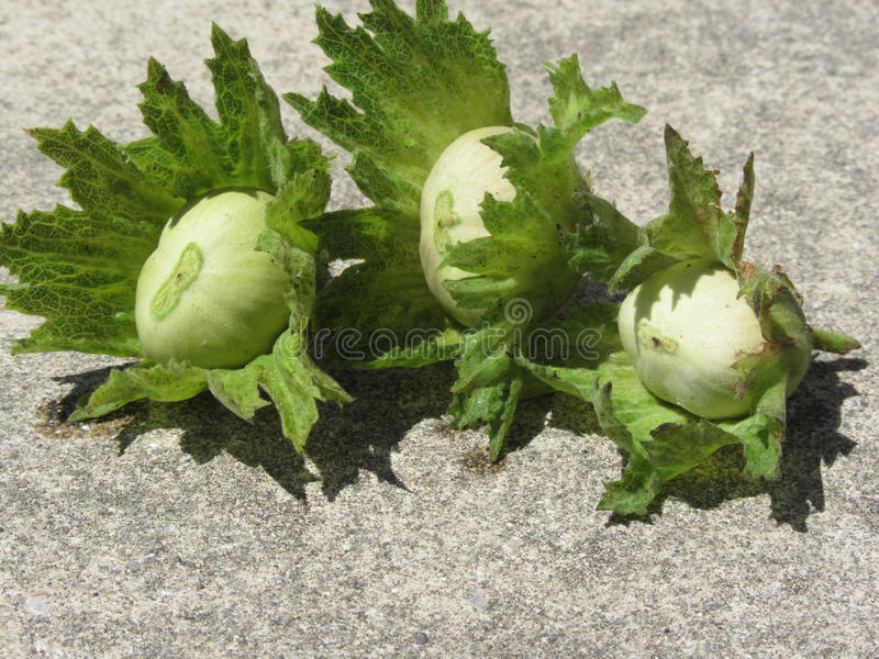 Fresh green hazelnuts on the floor just hand picked from the tree royalty free stock photo