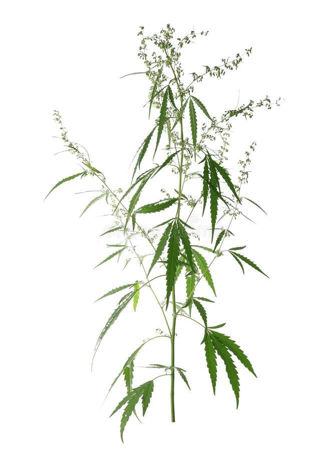 Fresh green hemp plant royalty free stock image