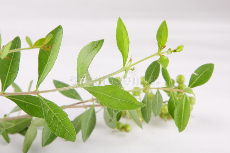 Fresh green henna plant AND SEEDS. Fresh green henna plant, and seeds,selective focus photograph stock images