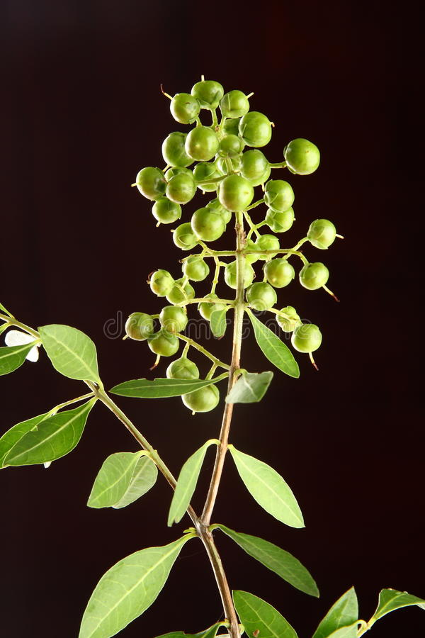 Fresh green henna plant AND SEEDS. Fresh green henna plant, and seeds,selective focus photograph royalty free stock photos