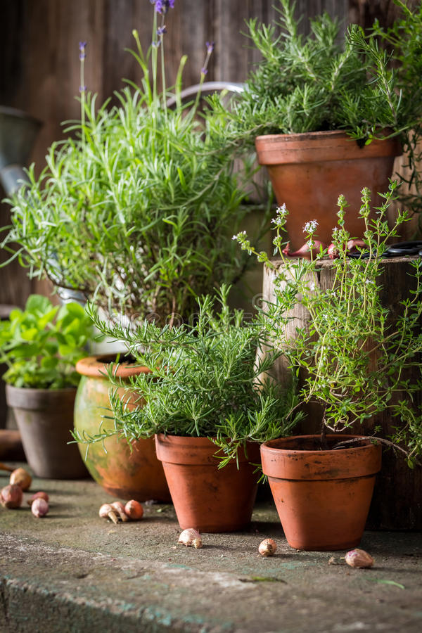 Fresh and green herbs in old clay pots stock image