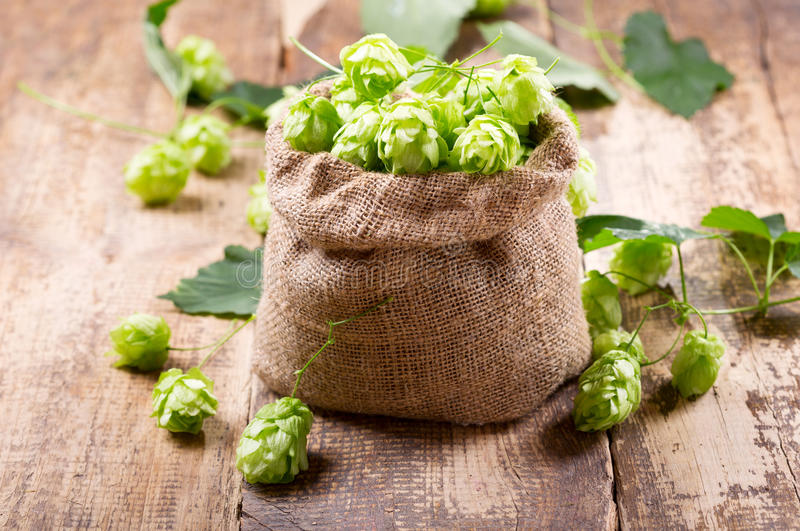 Fresh green hops in sack royalty free stock images