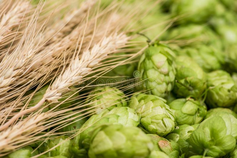 Fresh green hops and wheat spikes as background. Green hops, malt, ears of barley and wheat grain. Beer production royalty free stock photos