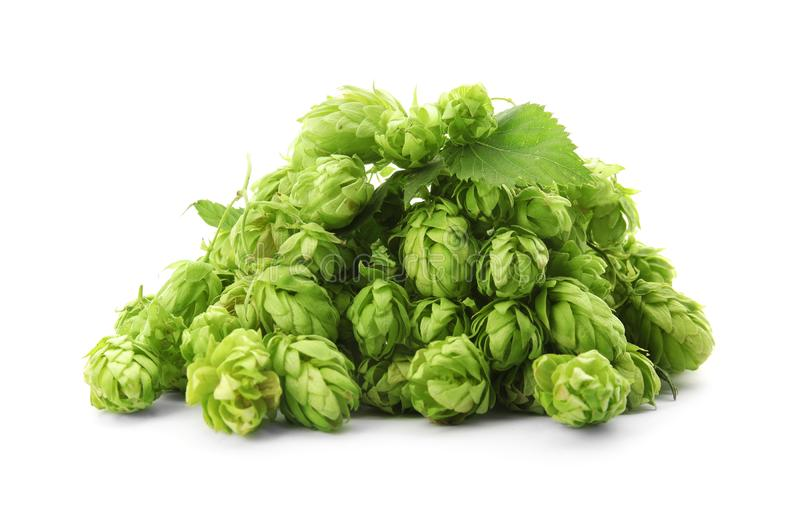 Fresh green hops on white background. Beer production royalty free stock photography