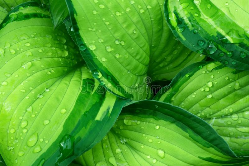 Fresh Green Hosta Plant Leaves after Rain with Water Drops. Botanical Foliage Nature Background. Wallpaper Poster Template stock photography
