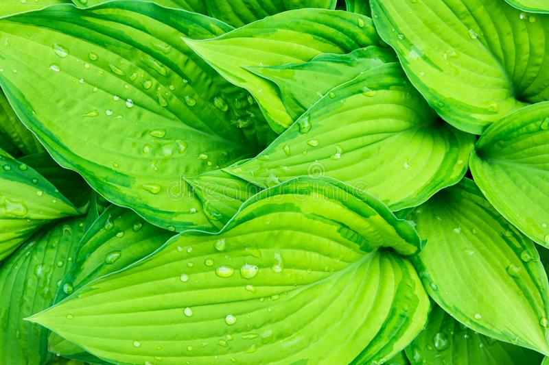 Fresh Green Hosta Plant Leaves after Rain with Water Drops. Botanical Nature Background. Background Wallpaper Poster Template. Organic Cosmetics Wellness Spa stock image