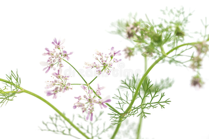 Fresh green leaf cilantro coriander blossom close up royalty free stock image