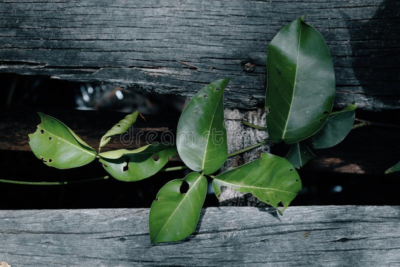 Fresh green leaf on dilapidated wooden background. Natural compo stock photos