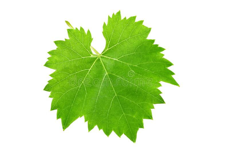 Fresh green leaf of grape isolated on white background stock photography