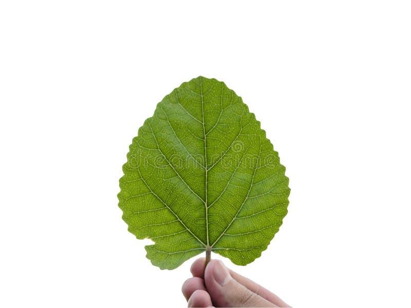 Fresh green leaf in hand stock photo