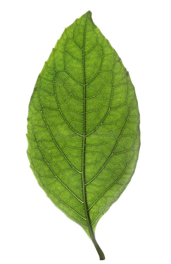 Fresh green leaf isolated stock photo