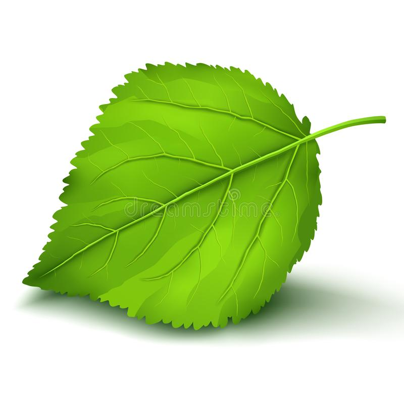 Fresh green leaf isolated on white background. Fresh realistic detailed cherry or apple green leaf close-up isolated on white background, element of eco design royalty free illustration