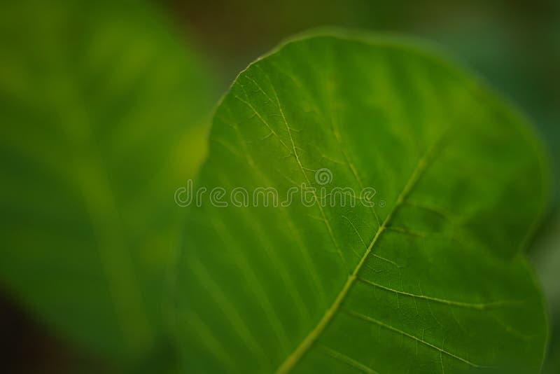 Fresh green leaf, macro photo, soft selective focus.  royalty free stock photo