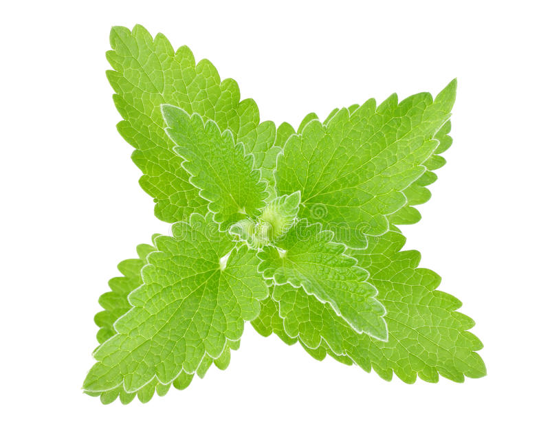 Fresh Green Leaf Of Melissa Royalty Free Stock Photography