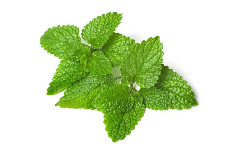 Fresh green leaf of melissa. Isolated on white background stock photos