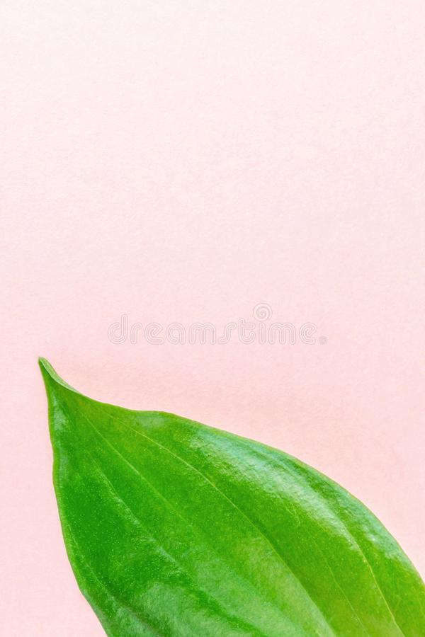 Fresh green leaf of a plant close-up on a pastel pink wall background. royalty free stock photo