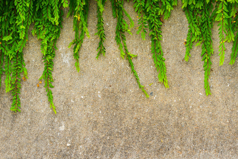 Fresh green leaf plant on grunge wall background. royalty free stock image