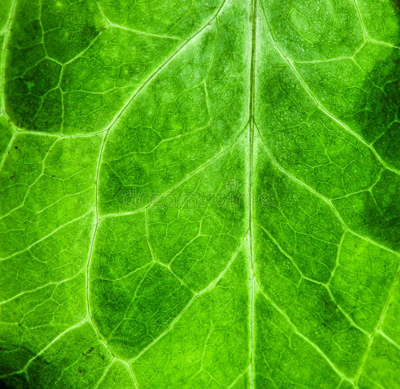 Fresh green leaf rugged surface structure extreme macro closeup photo green biology texture background. Fresh green leaf rugged surface structure extreme macro stock image