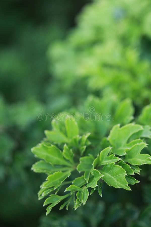 The fresh green leaf. Fresh green leaf shoot in the park background royalty free stock image