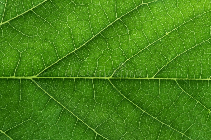 Download Fresh Green Leaf Texture Closeup Stock Photo - Image: 26430904