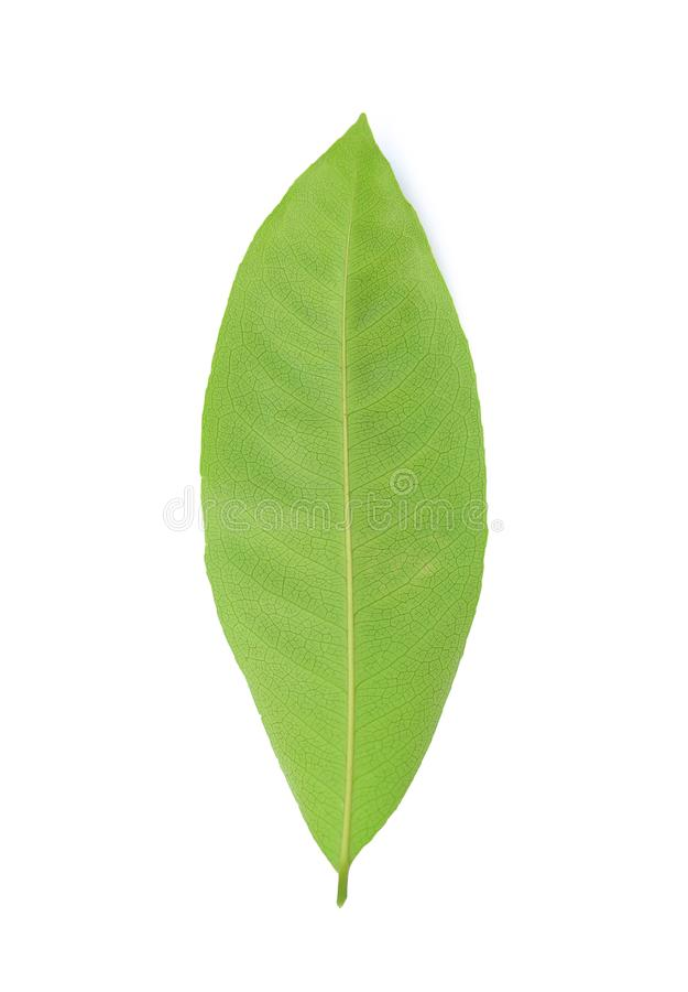 Fresh green leafs isolated on white background.  royalty free stock photography