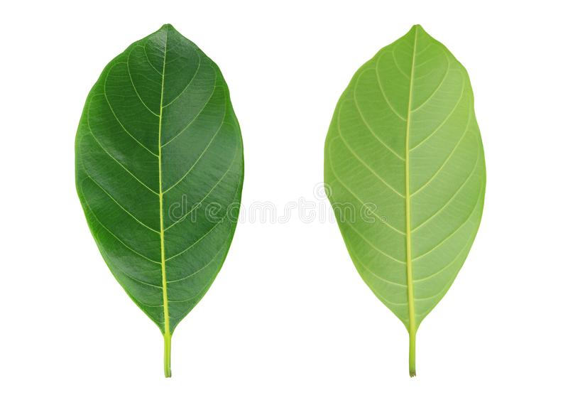 Fresh green leafs isolated on white background.  stock photography