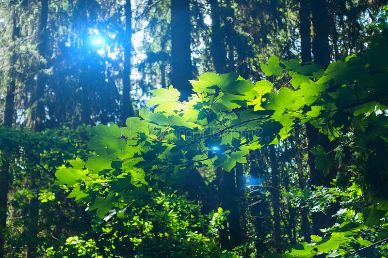 Fresh Green leafs with Light effect in the forest royalty free stock photos
