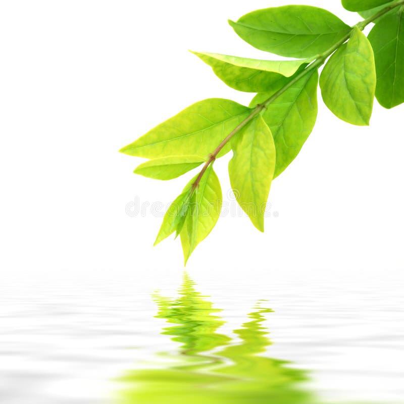 Fresh green leaves stock image