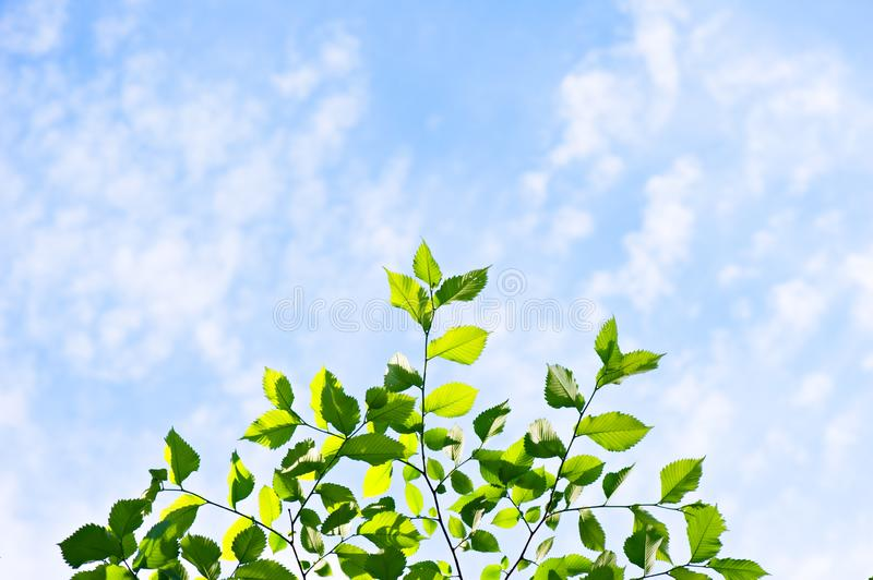 Fresh and green elm tree leaves stock photo
