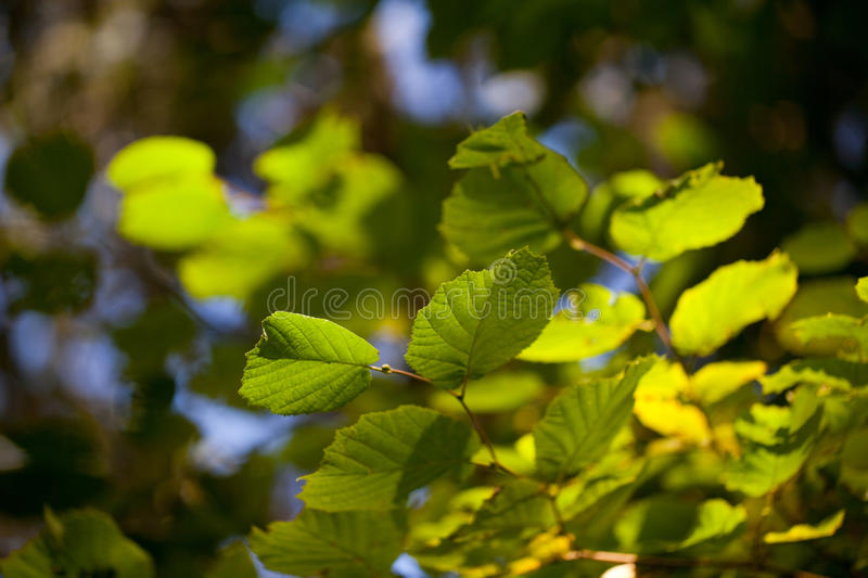 Fresh green leaves on a beech tree stock image