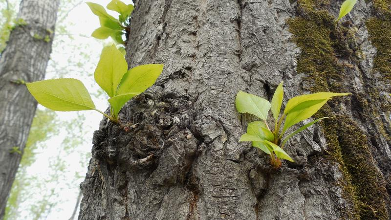 Fresh green leaves bloomed on the old tree trunk stock image