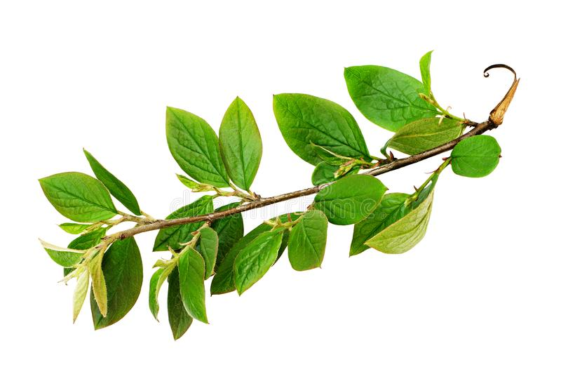 Fresh green leaves branch stock photos