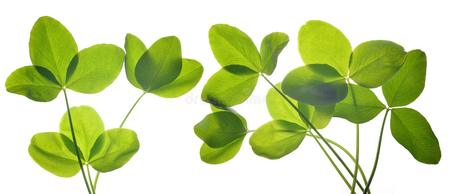 Fresh green leaves of clover. stock photography