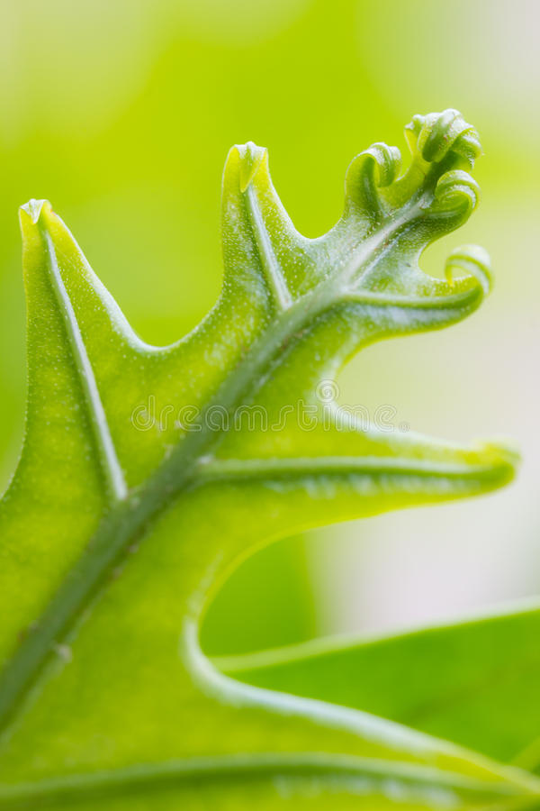 Fresh green leaves. Detail of fresh and green leaves, Soft focus royalty free stock photography