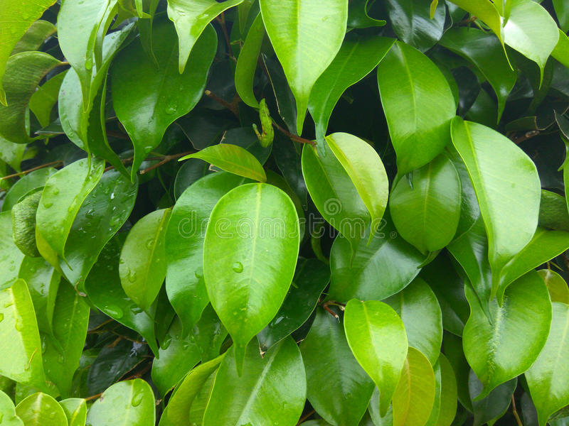 Fresh green leaves royalty free stock photo