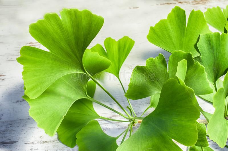 Ginkgo leaves or ginko leaf. Fresh green leaves of the Ginkgo biloba tree on a white wooden vintage table royalty free stock images
