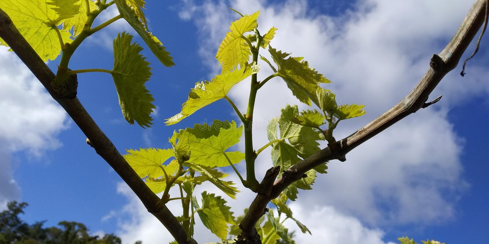 Fresh green leaves of grapevine. Close-up of flowering grape vines, grapes bloom during day. Grape seedlings on a vine royalty free stock photo
