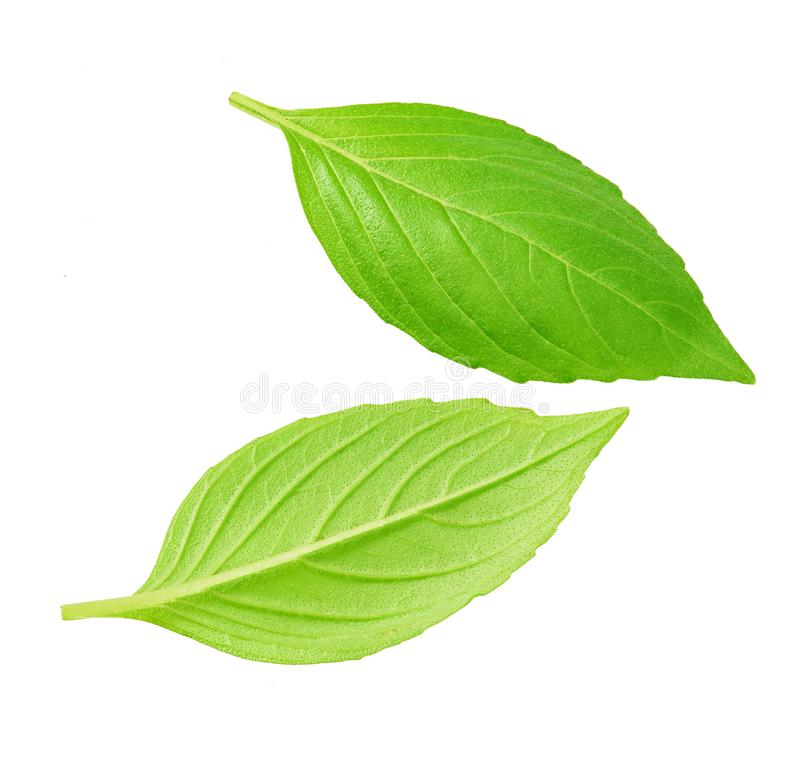 Fresh green leaves isolated. Close-up studio shot of fresh green basil leaves isolated on white background stock photography