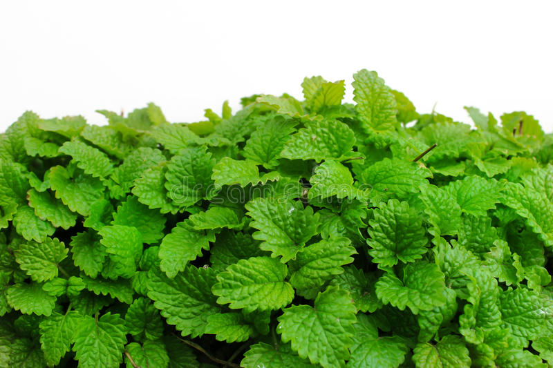Fresh green leaves of lemon balm as a background royalty free stock photo